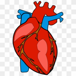 Human Heart PNG Transparent For Free Download - PngFind