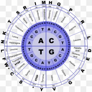 Genetic Code Chart For Dna Amino Acid Translation Hd Png Download 720x720 4841270 Pngfind