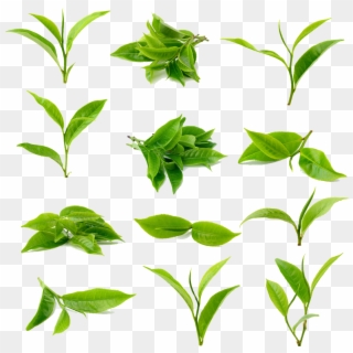 Tea Green Matcha Black Download Free Image Image Category Green Tea Leaf Png Transparent Png 1024x1024 6034353 Pngfind